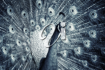 Close up monochrome photo of wild Peacock with feathers out
