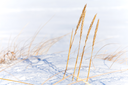 Winter coastal nature fragment, dry frozen sedge grass with snow