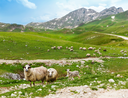 A flock of sheep in a mountain valley
