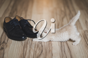 Naughty fluffy kitten plays with shoelaces.