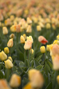 Beautiful bouquet of pink Tulips in Spring Flora Natural Concept field
