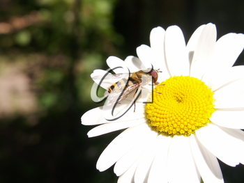 Wasp on the big camomile a summer sunny day