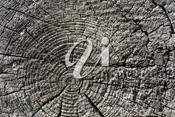 Timber industry natural abstract background: rough surface of gray sawed weathered wood log end with growth rings, cracks, splits and scratchs closeup