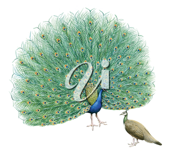 Royalty Free Clipart Image of a Pair of Peacocks
