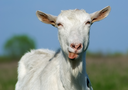 Portrait of a horned and bearded goat showing tongue.