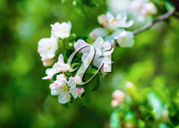 Blossom tree branch. Spring flowers  and green leaves on blurred background with bokeh. Soft focus effect. Shallow depth of field. Selective focus.