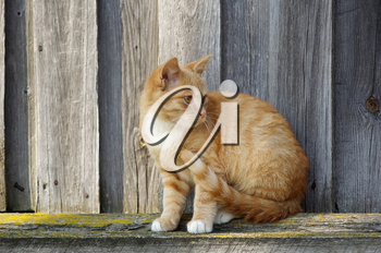 Close-up of a cute ginger tabby cat against wooden background.