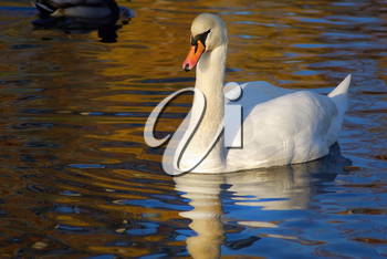 Beautiful graceful white swan swimming in a pond on a sunny autumn day