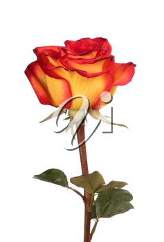 Red and yellow rose isolated on white background