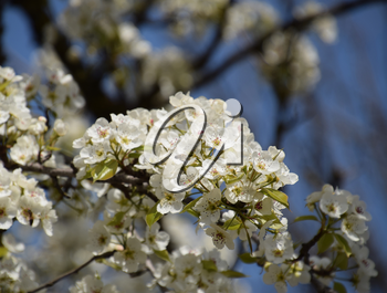 Blooming wild pear in the garden. Spring flowering trees. Pollination of flowers of pear.