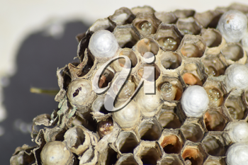 Wasp nest without wasps. Captured ravaged nest wasps. Honeycombs with larvae.