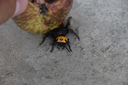 Megascolia maculata. The mammoth wasp. Wasp Scola giant apple pressed down.