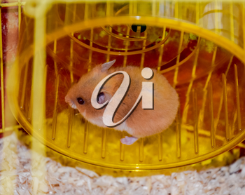 Hamster home in keeping in captivity. Hamster running wheel. Red hamster.