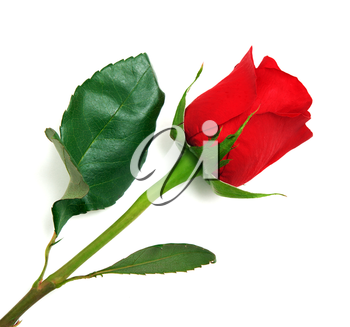 Isolated rose. Element of design.