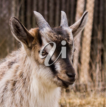 Portrait of Alpine young goat breed. Close up.