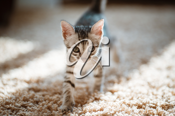 One month old and cute silver tabby of an American Shorthair kitten is looking at something specious with a little of sunshine