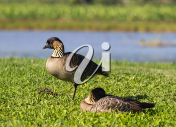 Nene ducks or geese in Hanalei Valley on island of Kauai with Taro plant pools or ponds in background