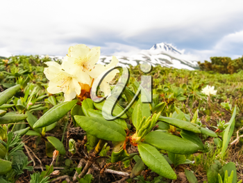 Flowering plants of Kamchatka. Plants on volcanic soil