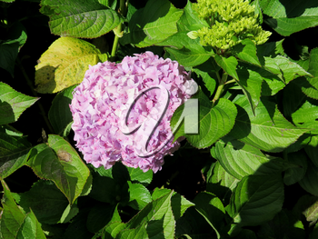 Colorful Hydrangea flowers at the garden