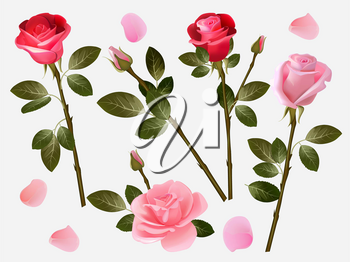 Red rose. Plant love flowers beautiful red buds with green leaves vector herbal illustration collection. Rose aroma and fresh, green leaf and flower