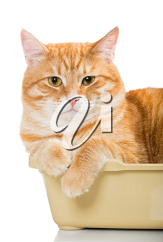 Beautiful red cat lies in a plastic box, isolated on white
