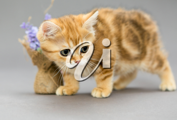 Little British kitten marble colors  and flower on a gray background