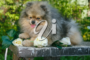 Dog breed Pomeranian  stands on a table in the garden in the spring