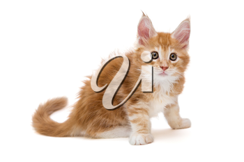 Beautiful red kitten Maine Coon isolated on white background