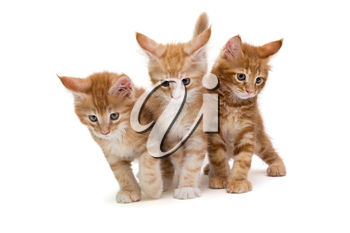 Three small Maine Coon kittens, isolated on white background