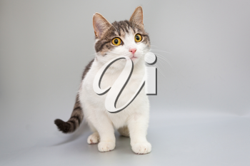 Funny young cat on a gray background
