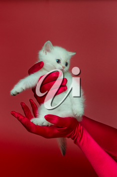 White British kitten in women's hands in silk gloves on a red background