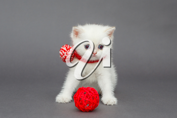 White British kitten in a red scarf on a gray background