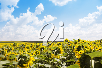 Sunflower Field With Blue Sky and Fluffy Clouds In Background