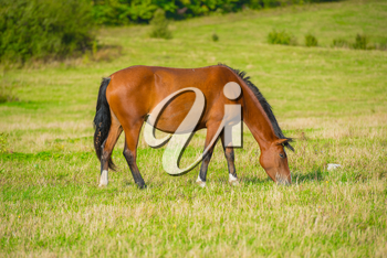 Dark bay horse in a meadow with green grass