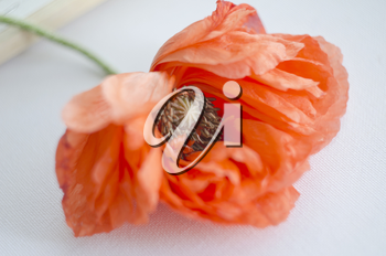 Beautiful single coral poppy flower head. Bright poppy flower. Close up of delicate flower for your design.