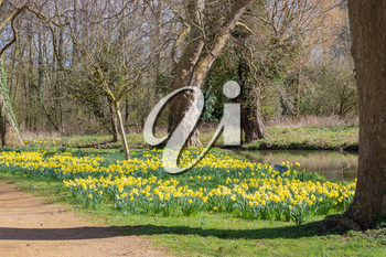 Daffodils in bloom along the Isis river