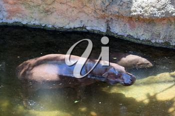 FUENGIROLA, ANDALUCIA/SPAIN - JULY 4 : Pygmy Hippopotamus (Choeropsis liberiensis or Hexaprotodon liberiensis) at the Bioparc in Fuengirola Costa del Sol Spain on July 4, 2017