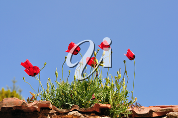 Red poppy flowers on old house rooftop. Spring season background.