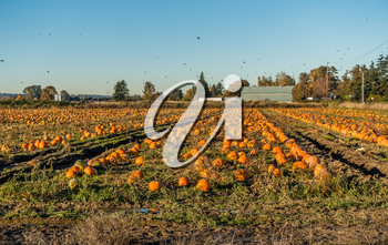 A view of harvested pumpkins in a field in Kent, Washington.