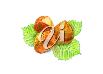 Hazelnut fruits with leaves, drawn with colored pencils. To print on napkins, cushions, bags, printing on T-shirts, covers smartphones, soaps, cosmetics packaging